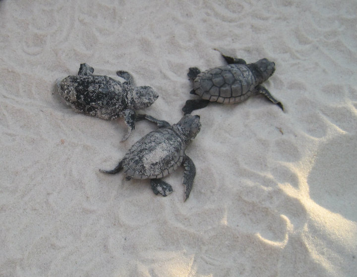 Sea Turtles by Carrie